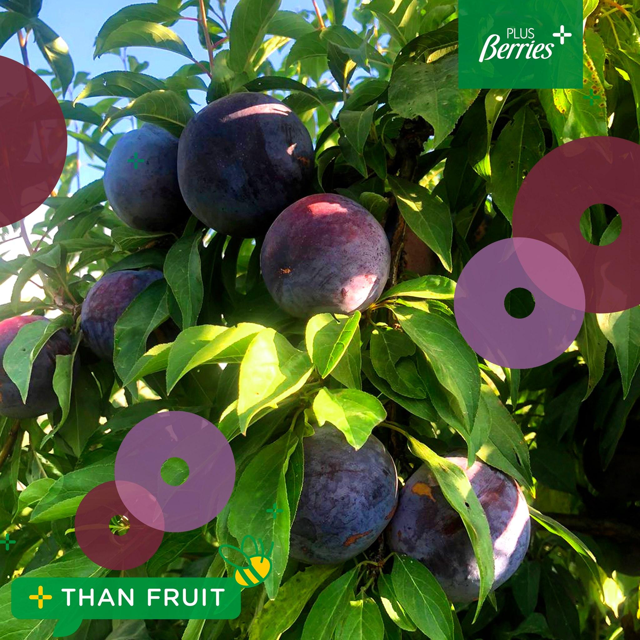 ¡Comienza la campaña de ciruelas de Plus Berries!